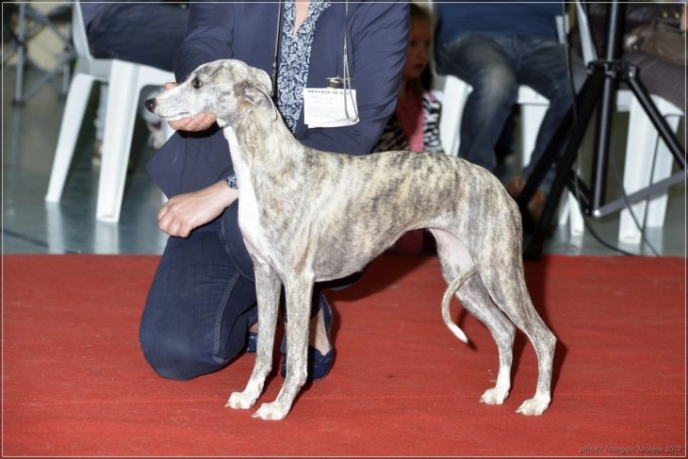 Nommé meilleur sujet de l'expo: Esedra Rua Catalana, femelle lévrier Whippet
